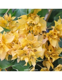 Bougainvillea 'Double Jaune'
