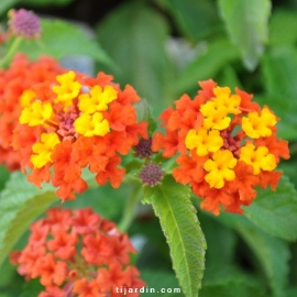 Lantana camara 'Lucky Red Flame'