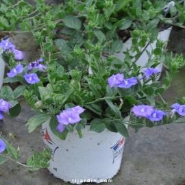 Convolvulus hybride 'Blue Cascade'