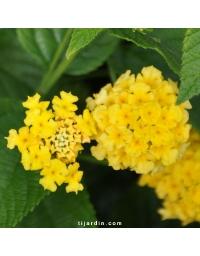 Lantana camara 'Lucky Yellow'