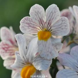 Nemesia hybride 'Sunsatia'