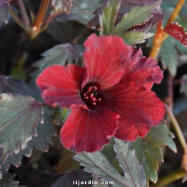 Hibiscus acetosella 'Red Shield'