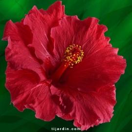 Hibiscus rosa sinensis 'Moana'