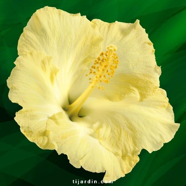 Hibiscus rosa sinensis 'Vitua'