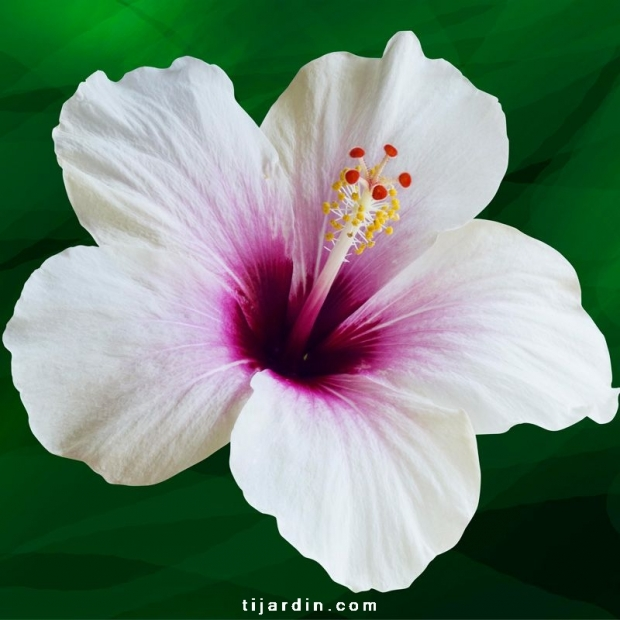 Hibiscus rosa sinensis 'Whiteye'