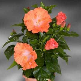 Hibiscus rosa sinensis 'Mehiti'