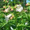 Penstemon hartwegii 'Phoenix' blanc fleurie