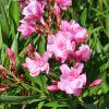 Nerium oleander 'Louis Pouget'