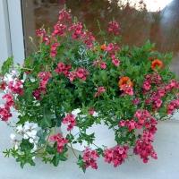 Les plantes retombantes