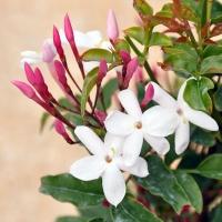 Les plantes parfumées