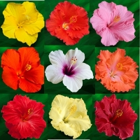 Collection d'Hibiscus