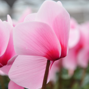 Cyclamen Dhiva rose