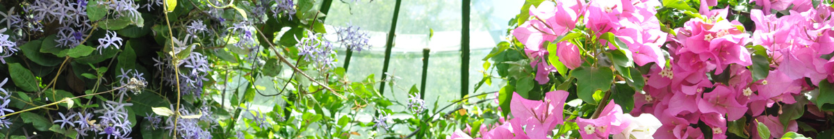 Plantes tropicales, bougainvillier hiverner en véranda