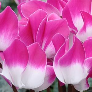 Cyclamen_outstanding_Indiaka_violet_zoom