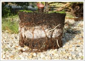 développement des racines avec matl'eau