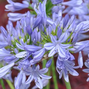 Agapanthe 'Pitchoune Blue'