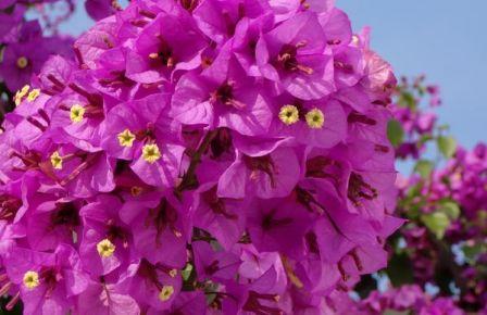 Bougainvillier 'Violet de Mèze'