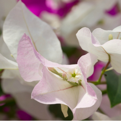 Bougainvillier Blush