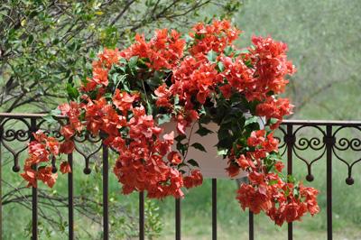 Bougainvillier Flame en jardinière pour balcon