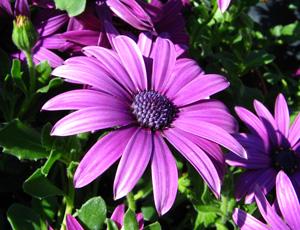 Dimorphoteca rampant violet