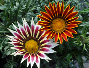 Gazania hybride bicolore