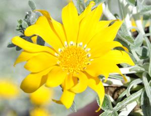 Gazania semi-vivace jaune