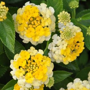 Lantana camara Bandana Yellow