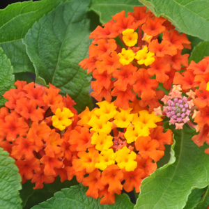 Lantana camara Lucky Red Flame