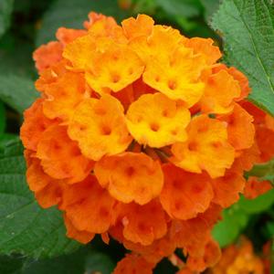 Lantana camara Orange Pur