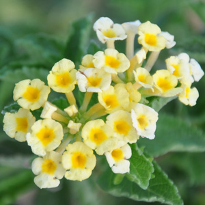 Lantana camara repens Ice cream