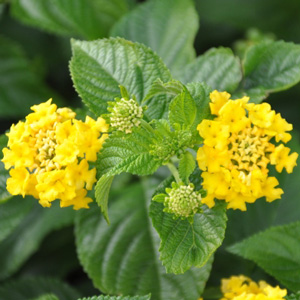 Lantana camara Lucky Yellow