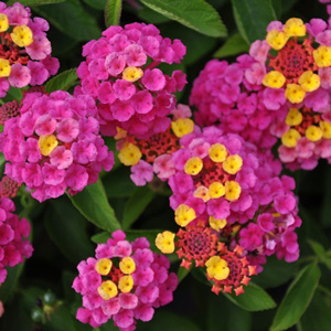 Lantana camara Lucky Sunrise Rose