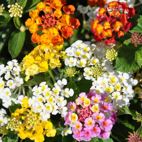 Diversité de couleur des fleurs de lantana