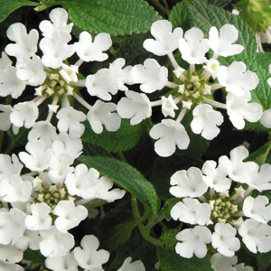 Lantana sellowiana Blanc