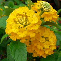 Lantana camara Star Fruit