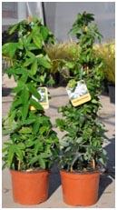 Plante tuteurée sur trois tuteurs attachés en forme de tippi