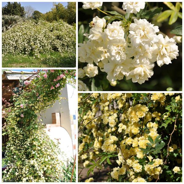 Rosa banksiae: rosier botanique sans épine aux petites fleurs doubles parfumées